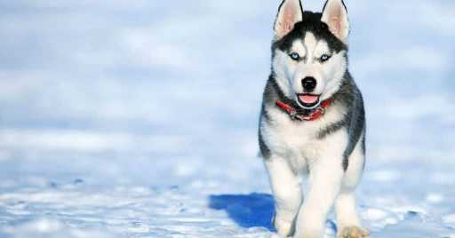 Best Dog Foods For Husky