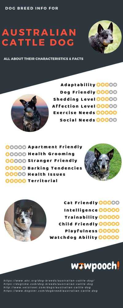Australian Cattle Dog Breed Info Characteristics Facts