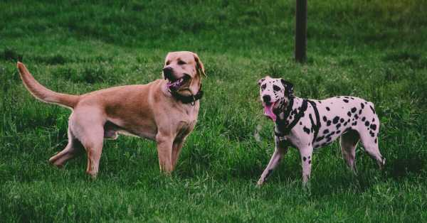 Best Dog Food For Giant Breeds (Puppy & Adult) : Dry & Canned