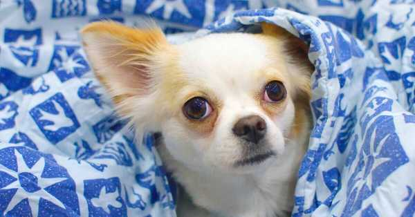 Chihuahua Dog Breed Info, Pictures, Characteristics