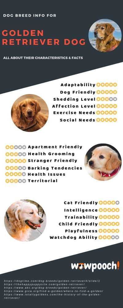 Golden Retriever Dog Breed Info Characteristics