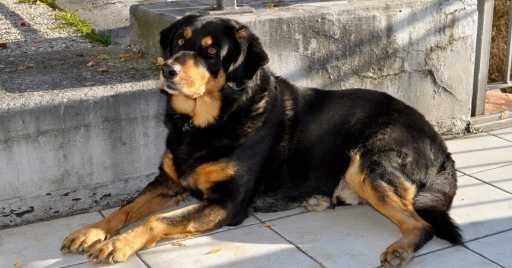 Rottweiler Dog Breed Information, Pictures