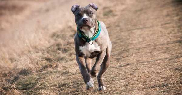 pitbull Terrier Dog Breed Information, Pictures, Characteristics & Facts