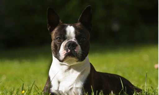 Boston Terrier Dog Breed Info, Characteristics & Facts
