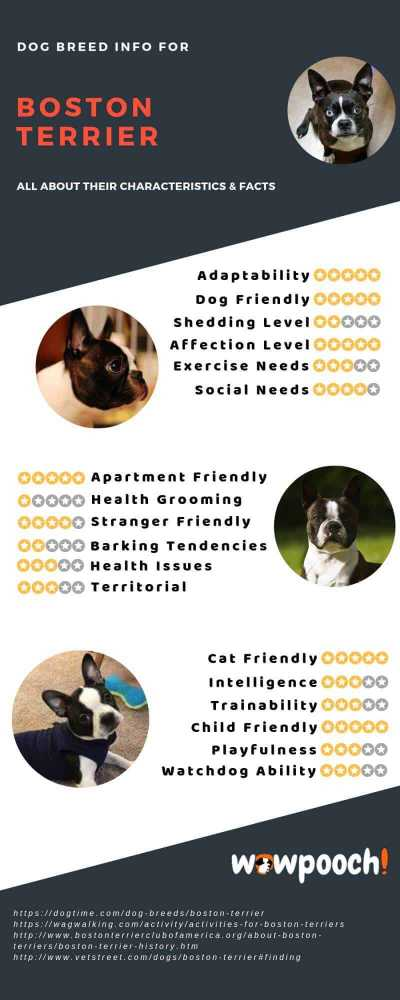 Boston Terrier Dog Breed Info Characteristics
