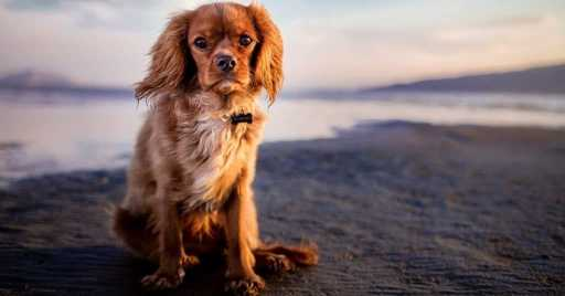 Cavalier King Charles Spaniel Dog Breed Information