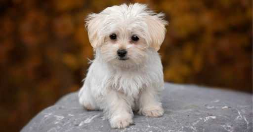 Dog Foods For Maltese Puppy & Adults