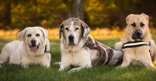 Large Dog Breeds You May Find Rare