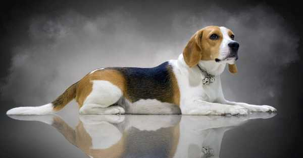 Best Dog Food For Beagles