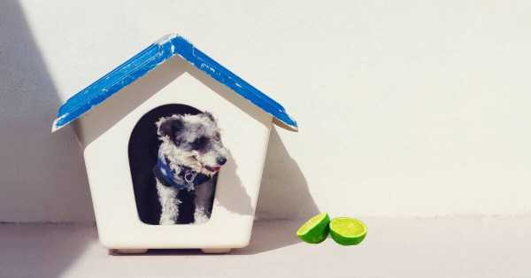 Can Dogs Eat Limes?
