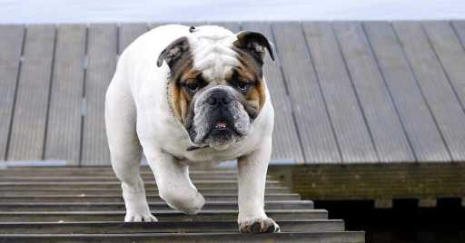 Bulldog Breed Information, Pictures, Characteristics & Facts