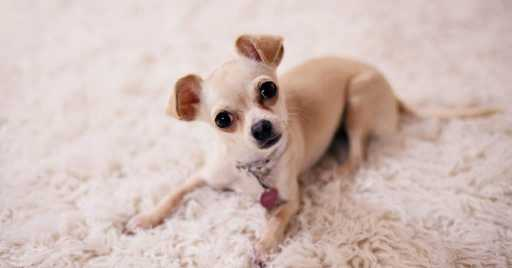What's The Best Dog Foods For Chihuahuas
