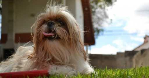 Dog Foods For Shih Tzu With Or Without Allergies