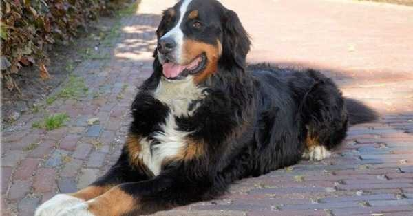 Dog Beds For A Bernese Mountain