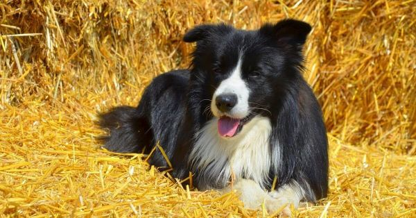 Dog Beds For Border Collies