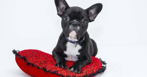 Dog Beds For French Bulldogs