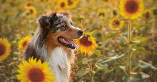 Dogs Eat Sunflower Seeds?