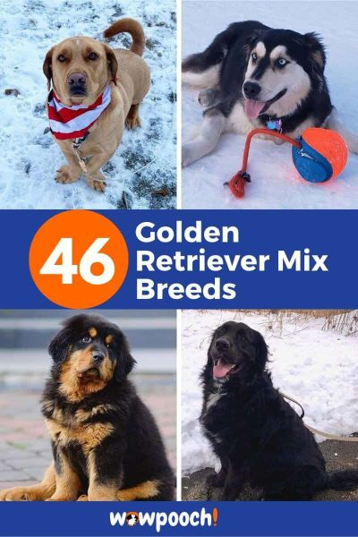 Golden Retriever Mixes