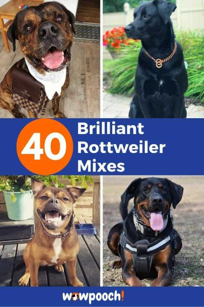 40 Brilliant Rottweiler Mixes – Discover The Perfect Rottie Mix