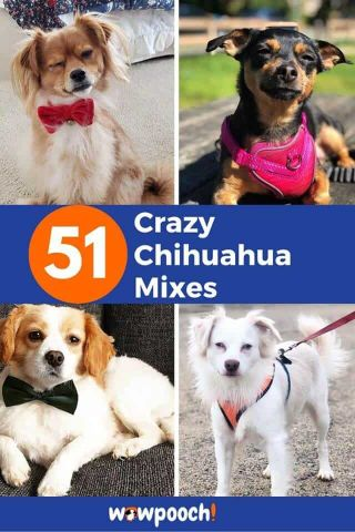 Crazy Chihuahua Mixes Larger Than Life – Find the Perfect Chihuahua Mix