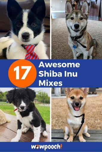 17 Awesome Shiba Inu Mixes For Dog Lovers