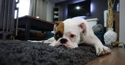 Top Best Dog Beds For Boxers