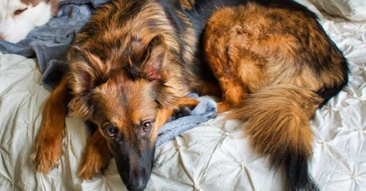 Dog Beds For German Shepherds
