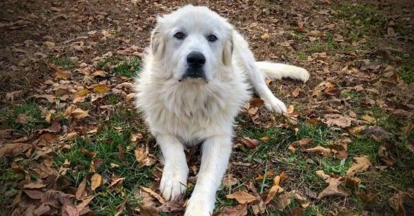 Top Best Dog Beds for Great Pyrenees