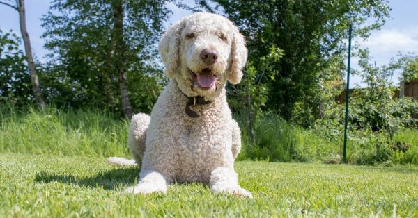 Top Dog Foods For Labradoodles