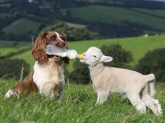Springer Spaniel Sheepdog