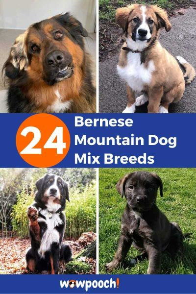 24 Bernese Mountain Dog Mixes