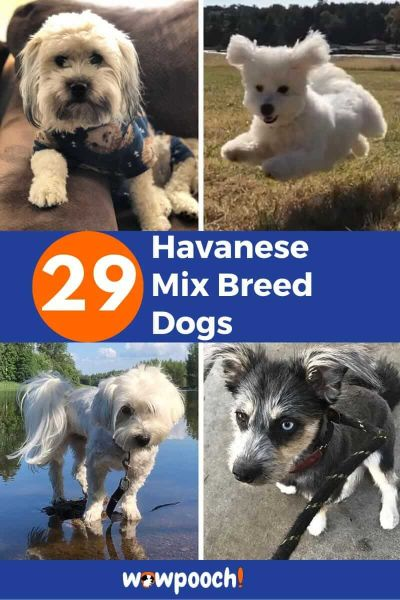 29 Havanese Mixes