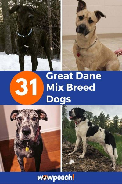 31 Great Dane Mixes