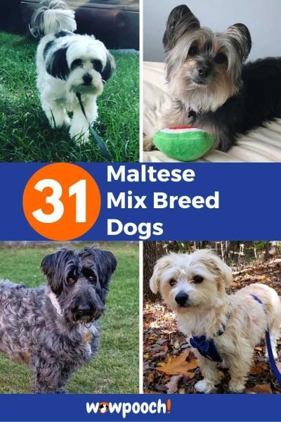 31 Maltese Mixes