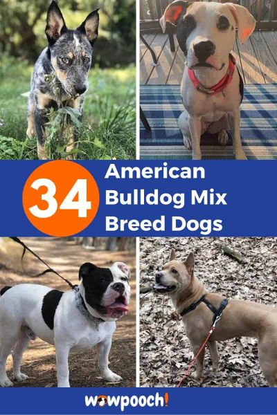 34 American Bulldog Mixes