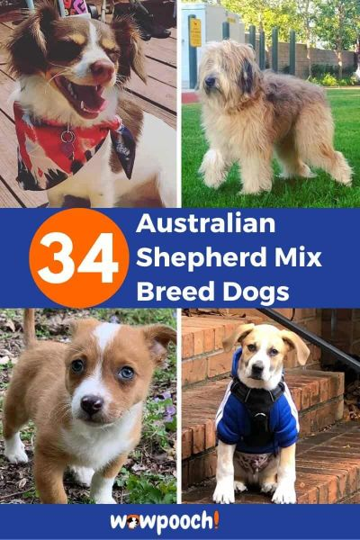 34 Australian Shepherd Mixes