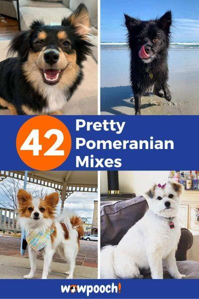 42 Pomeranian Mixes