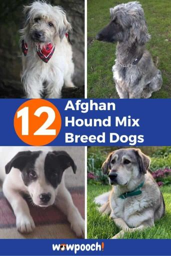 12 Afghan Hound Mixes