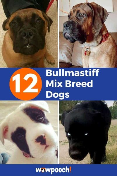 12 Bullmastiff Mixes