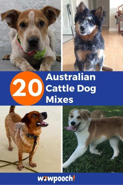 20 Australian Cattle Dog Mixes