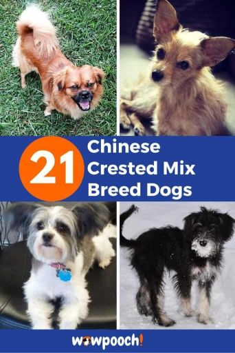 21 Chinese Crested Mixes