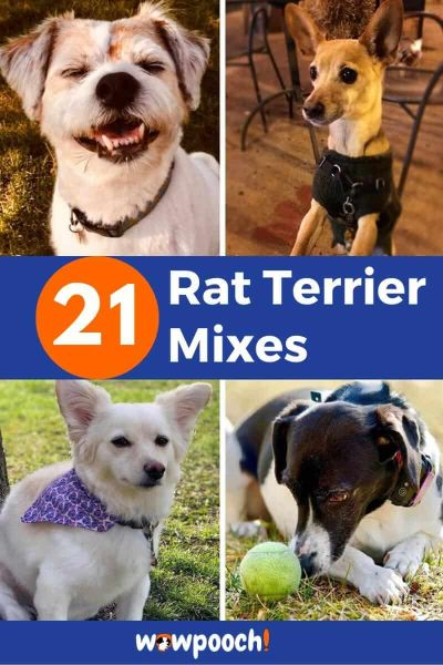 21 Rat Terrier Mixes