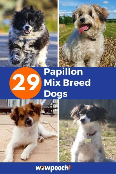 29 Papillon Mixes