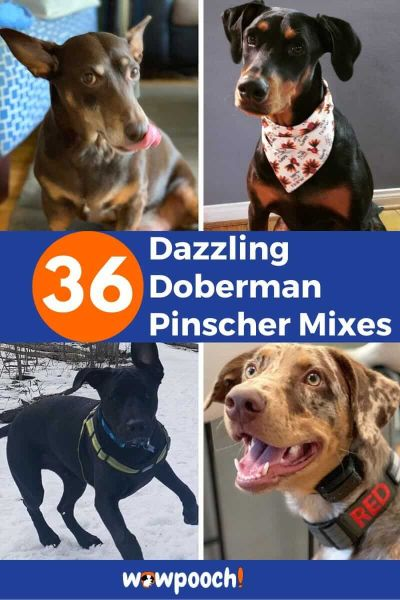 36 Doberman Pinscher Mixes