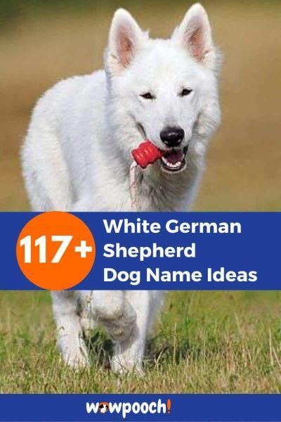 117+ White German Shepherd Dog Name Ideas