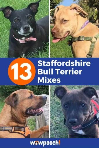 13 Staffordshire Bull Terrier Mix Breed Dogs