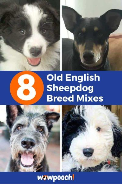 Old English Sheepdog Mixes