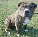American Bully Staffy Bull Terrier Dog