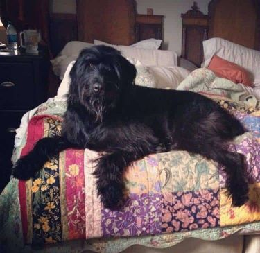 Black Russian Wolfhound Terrier Dog
