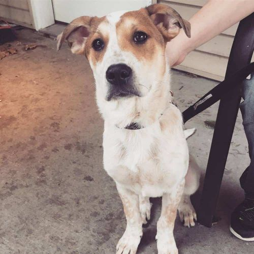 Catahoula Australian Cattle Dog mix